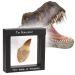 Vero dente di dinosauro